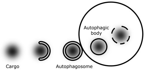 Autophagosome_conceptual_Model